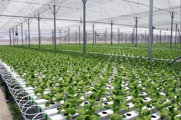 Phân biệt rau hữu cơ và rau an toàn