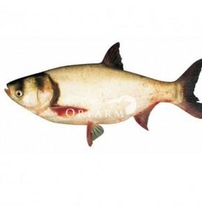 Combo 18: cá mè + thịt heo xay hữu cơ + thịt nạc vai hữu cơ